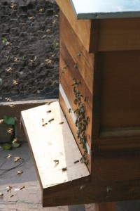 Bees Orienting and Fanning at Entrance