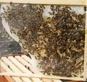 Worker Bee and Drone Brood