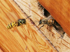 Guard Bee Defending Hive Entrance from Wasp