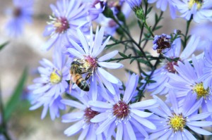 Bee Foraging on Blue Daisies