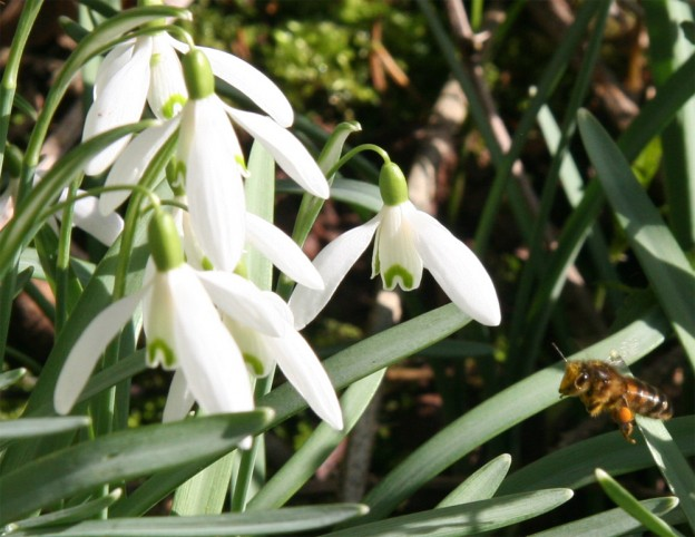 Bee enjoying February Snow Drops
