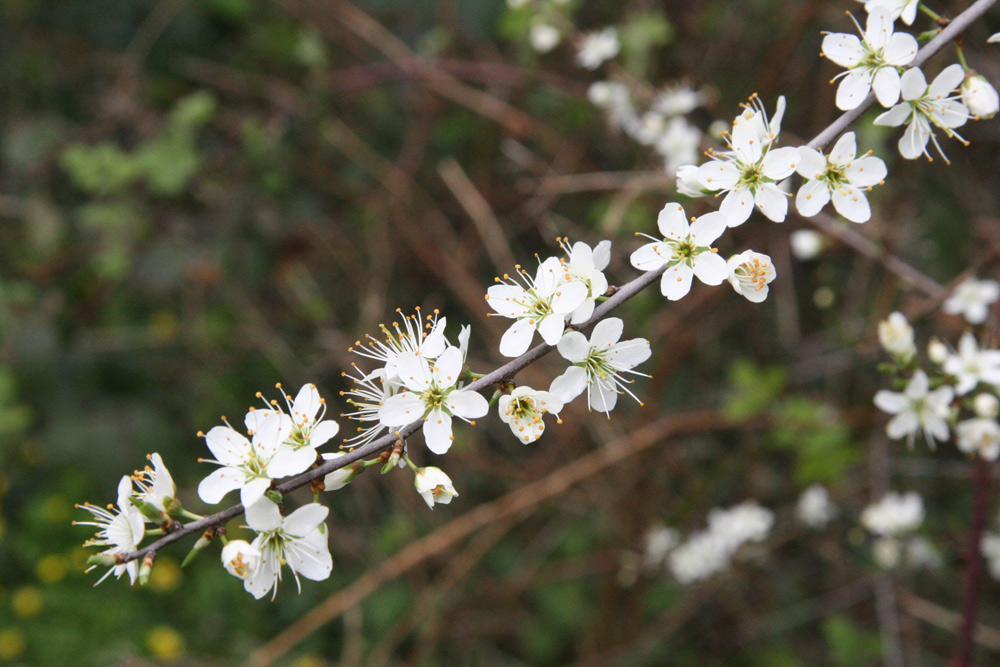 April Plum Blossom