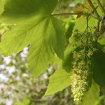 April Sycamore Tree Flowering