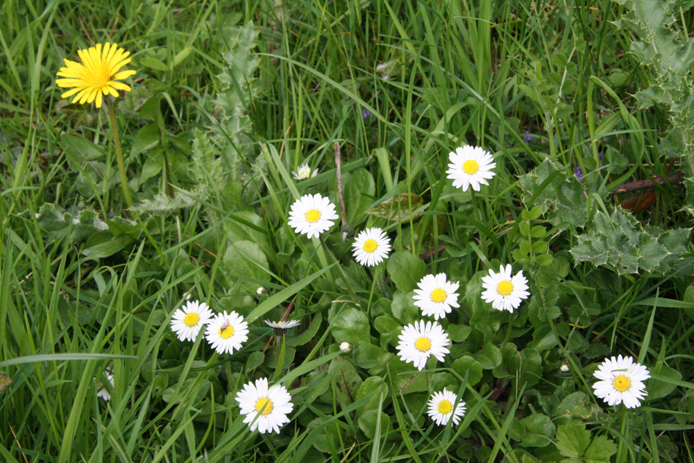 Daisies and Dandylions