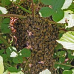 Swarming Bees Two Clusters