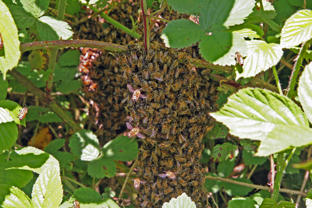 splitting beehives amp swarms beekeeping naturally